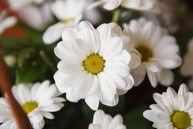 Schönes weißes Gänseblümchen lizenzfreie stockbilder