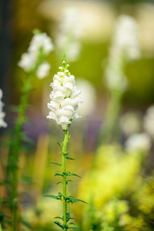 Schönes weißes salvia blüht das Blühen im Garten lizenzfreie stockfotos