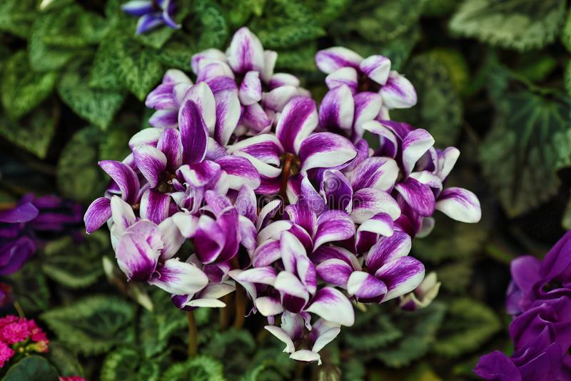 Schönes, weißviolett gefärbter Mini Orchid mit grüngrünem Hintergrund lizenzfreie stockfotografie