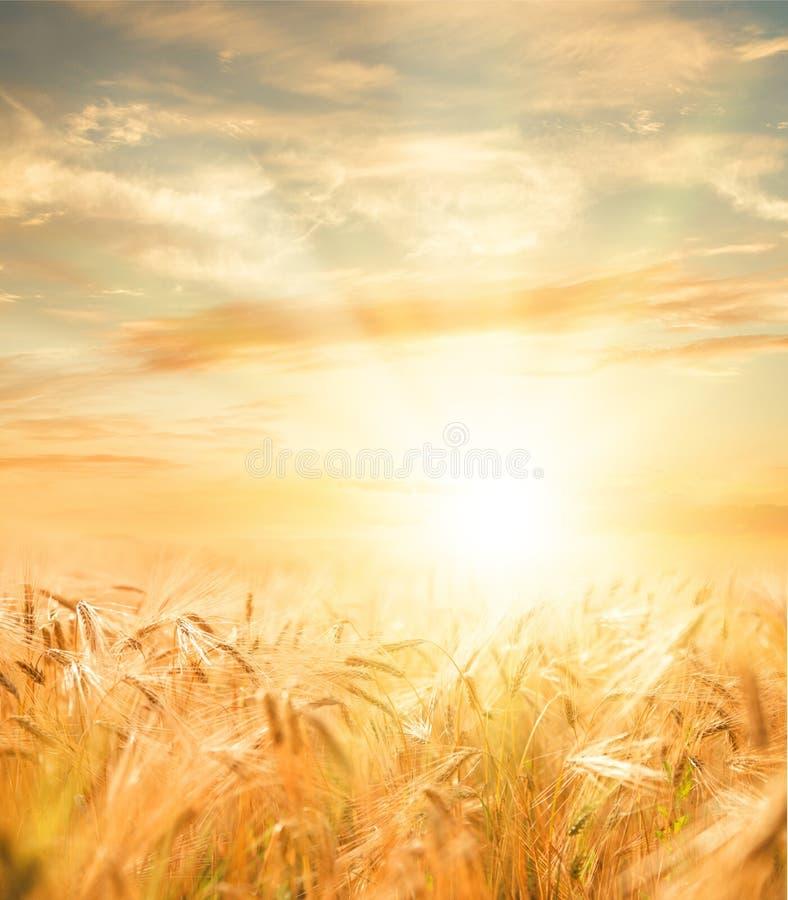 Schönes Weizenfeld lizenzfreie stockfotografie