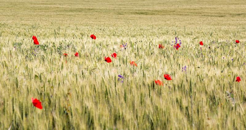 Schönes Weizenfeld voll von Mohnblumen im Sommer lizenzfreie stockfotos