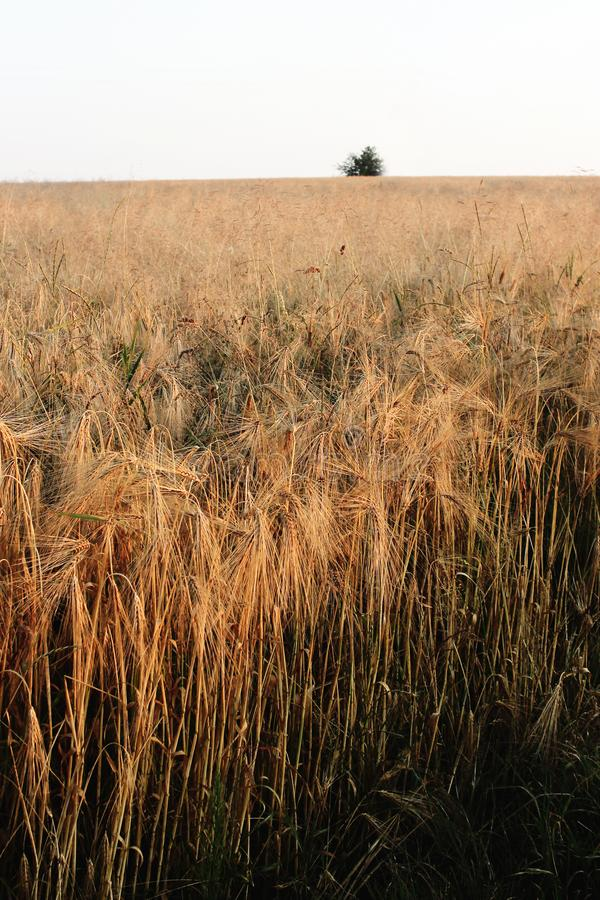 Schönes Weizenroggenfeld und Baum bei Sonnenuntergang, Sonne strahlt im summe aus stockfoto