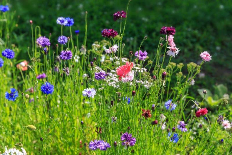 Schönes Wiesenfeld mit wilden Blumen Frühling oder Sommer Wildflowersnahaufnahme Stellen Sie schützende Schablone und die Pille g lizenzfreie stockbilder