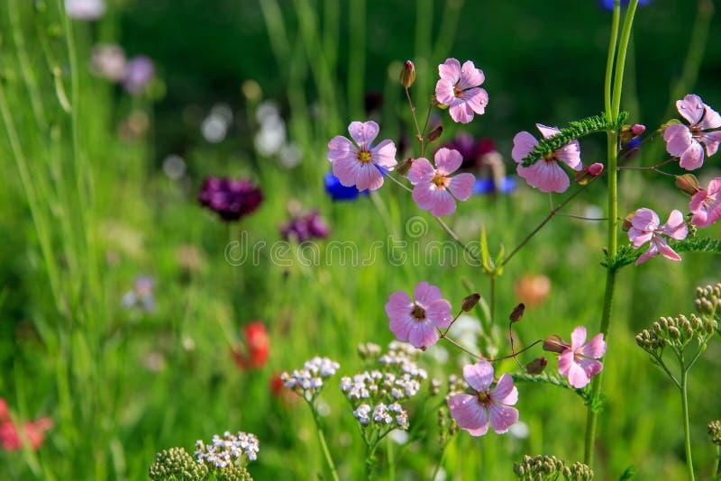 Schönes Wiesenfeld mit wilden Blumen Frühling Wildflowersnahaufnahme Stellen Sie schützende Schablone und die Pille gegenüber, di stockbild