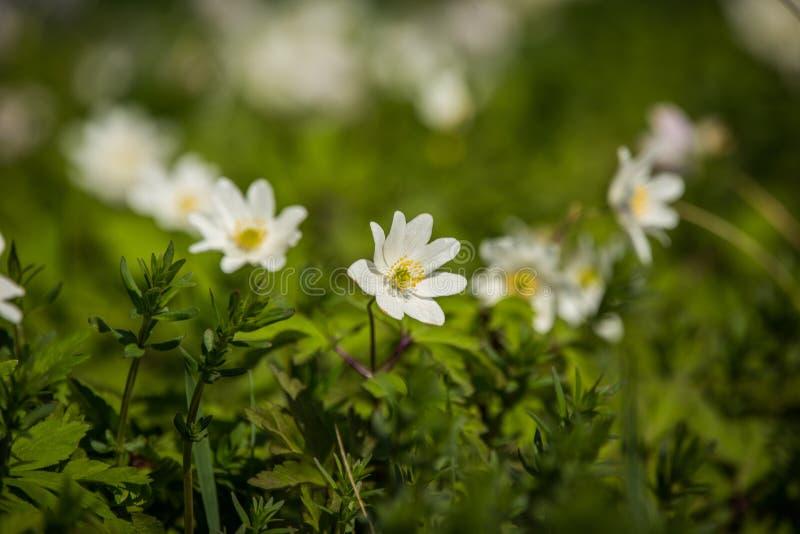 Schönes wildes Anemonenblumenwachsen in einem Garten Frühlingsblume im Wald lizenzfreies stockfoto