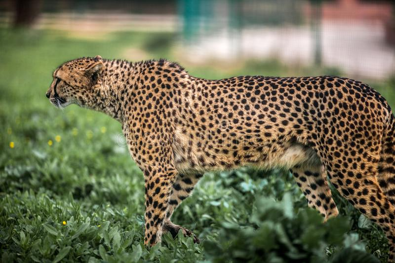 Schönes wildes Gepardgehen vorsichtig auf Grünfeldern, Abschluss oben lizenzfreies stockfoto