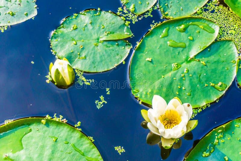 Schönes Wildwasser lilly im Abschluss herauf Teichmakro stockfotos