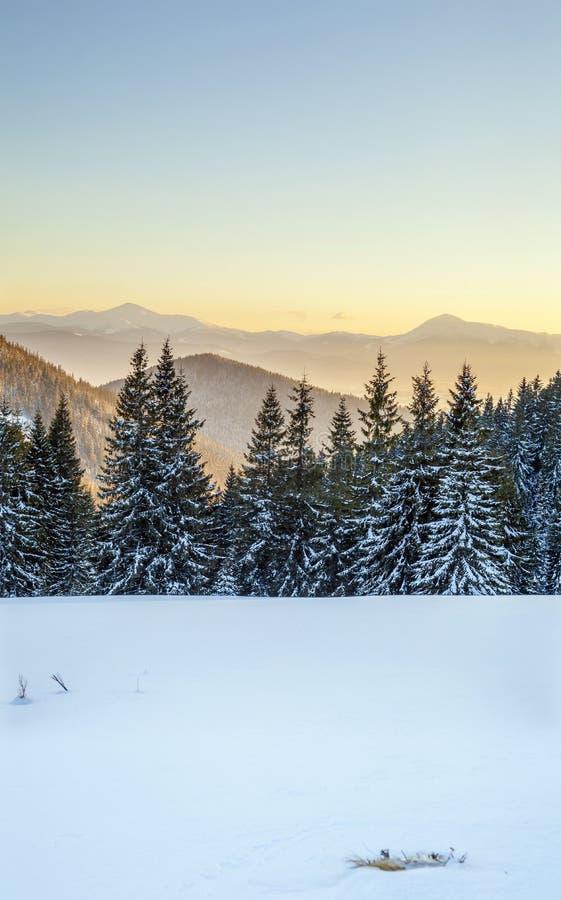 Schönes Winterpanorama Gestalten Sie mit gezierten Kiefern, blauem Himmel mit Sonnenlicht und hohen Karpatenbergen auf Hintergrun lizenzfreies stockfoto