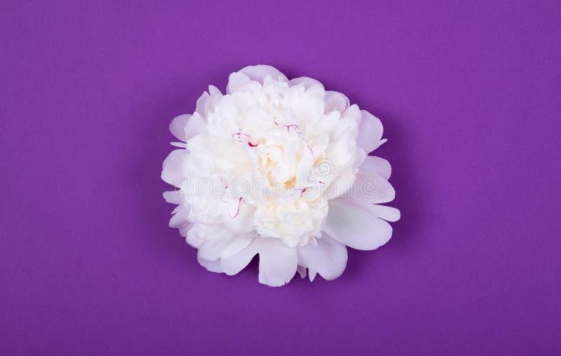 Schönes zartes weißes Pfingstrosenköpfchen auf purpurrotem violettem Hintergrund stockfotografie