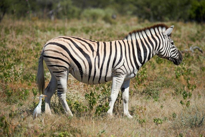 Schönes Zebra und Kuhreiher stockbild