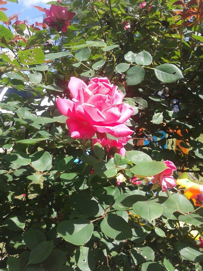 Schönheit blüht Rosa stockbilder