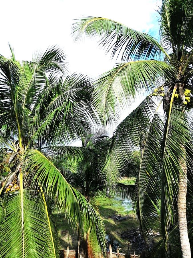 Schönheit des Kokosnussbaums stockfotos