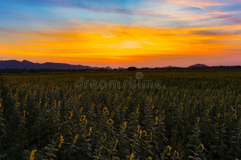 Schönheit des Sonnenuntergangs über Sonnenblumenfeld lizenzfreies stockbild