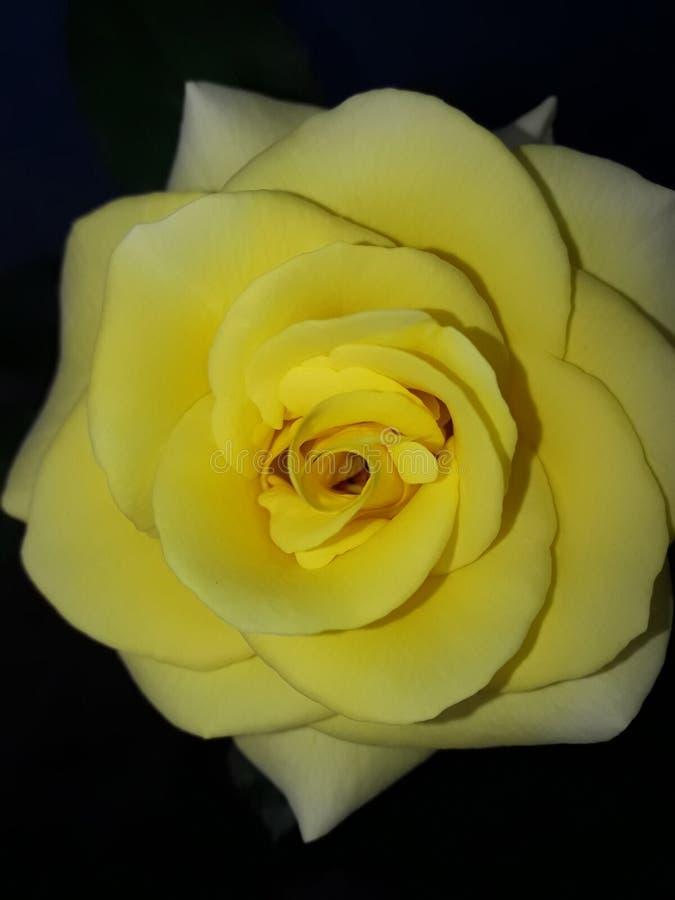 Schönheit einer gelben Rose stockfotografie