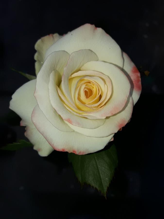 Schönheit einer weißen Rose stockbild