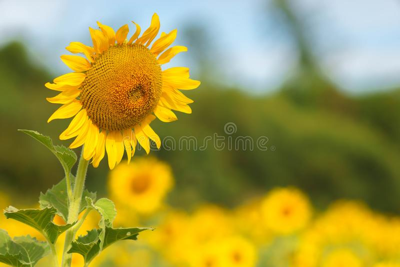 Schönheits-Sonnenblumenfeld im natürlichen lizenzfreie stockbilder