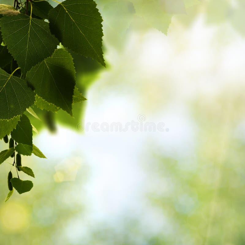 Schönheitsbirke nach dem Sommerregen stockfotografie
