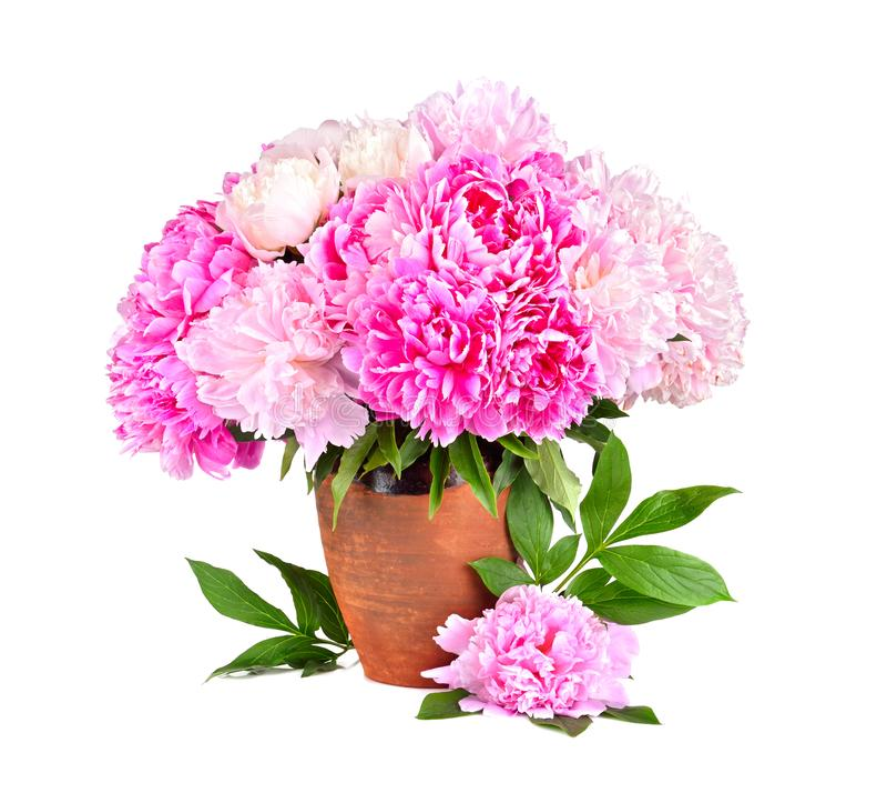 Schönheitsblumenstrauß von Pfingstrosen lizenzfreie stockfotos