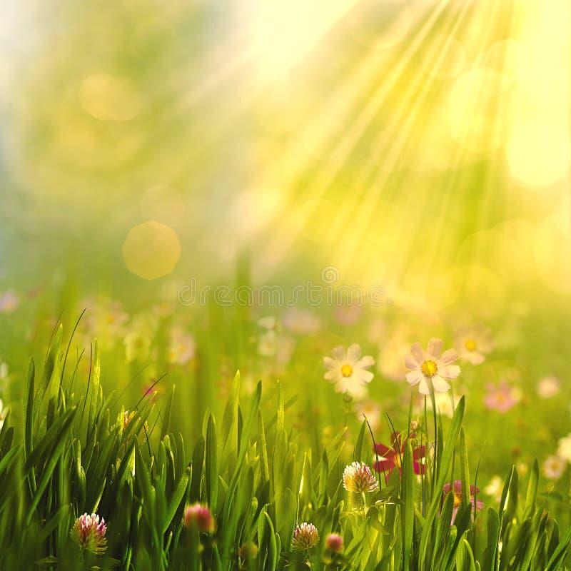 Schönheitsfrühling und -sommer gestalten mit frischen Gänseblümchenblumen landschaftlich lizenzfreies stockbild