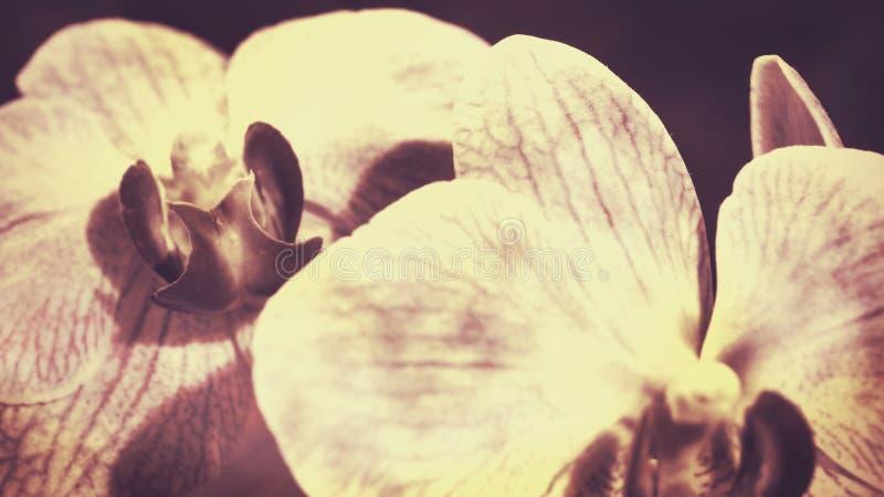 Schönheitsorchidee lizenzfreie stockfotos