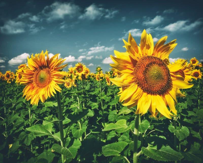 Schönheitssonnenblumen unter blauen Himmeln stockfotos