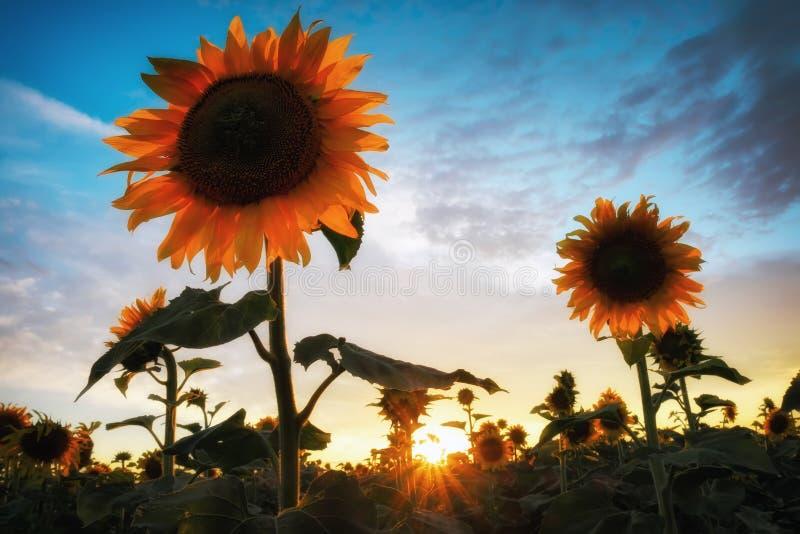 Schönheitssonnenuntergang über Sonnenblumenfeld stockfoto