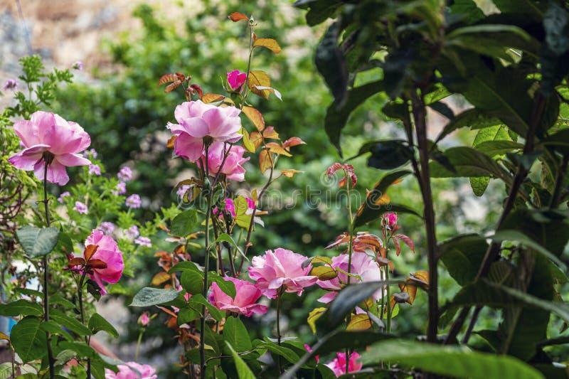 Schönschöner Rosenstüm in einem üppig blühenden Garten Nahaufnahme lizenzfreies stockbild