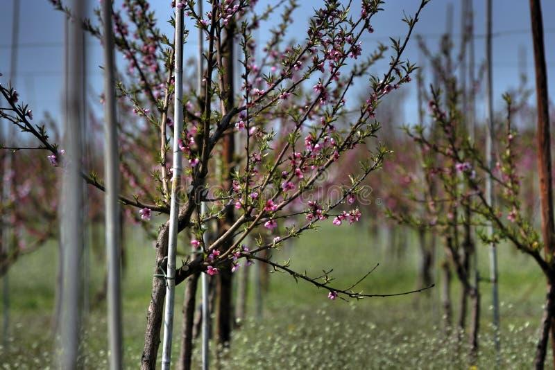 Schösslinge des blühenden Baums lizenzfreies stockfoto