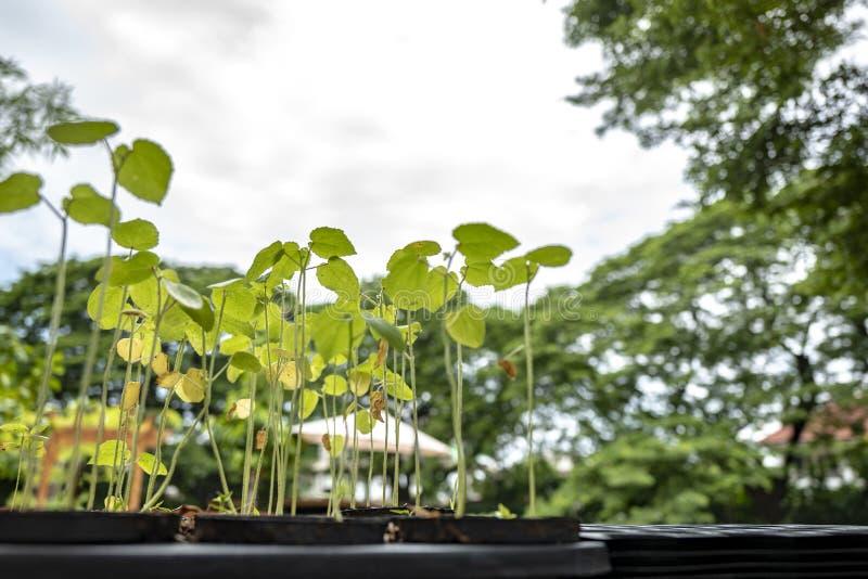 Schösslinge wachsen im bewirtschaftenden Plastikblumentopf in Folge mit großem Baum- und Himmelhintergrund stockfotografie