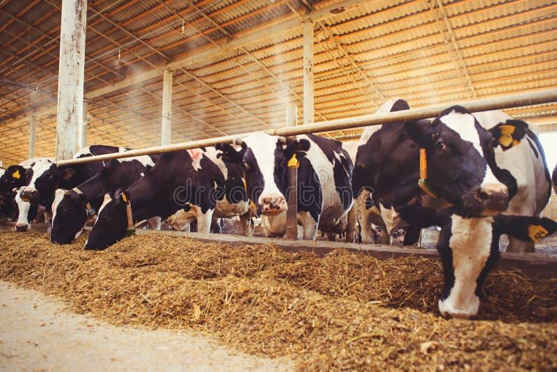 Schüchtern Sie Bauernhofkonzept der Landwirtschaft, die Landwirtschaft und Viehbestand - eine Herde von Kühen ein, die Heu in ein lizenzfreie stockfotografie