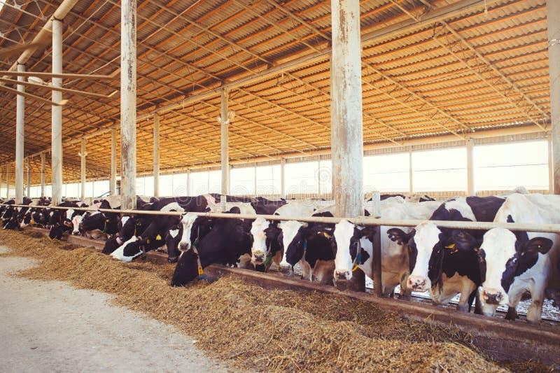 Schüchtern Sie Bauernhofkonzept der Landwirtschaft, die Landwirtschaft und Viehbestand - eine Herde von Kühen ein, die Heu in ein lizenzfreies stockfoto