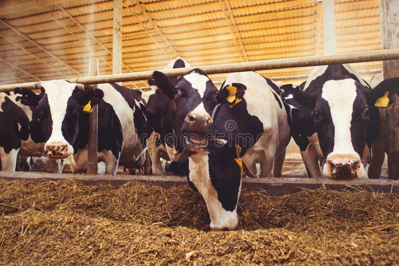 Schüchtern Sie Bauernhofkonzept der Landwirtschaft, die Landwirtschaft und Viehbestand - eine Herde von Kühen ein, die Heu in ein lizenzfreie stockfotos