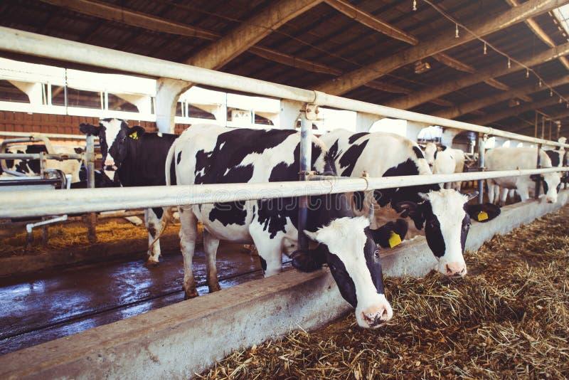 Schüchtern Sie Bauernhofkonzept der Landwirtschaft, die Landwirtschaft und Viehbestand - eine Herde von Kühen ein, die Heu in ein stockbilder