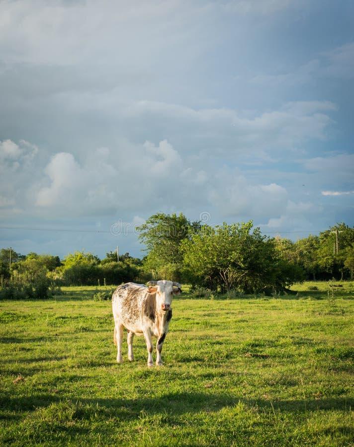 Schüchtern Sie das Weiden lassen mit einem Hintergrund des Bedrohens des bewölkten Himmels ein lizenzfreies stockbild