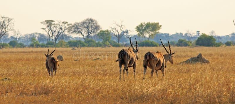 Schüchterne große Elenantilope drei, die über die afrikanischen Ebenen in Nationalpark Hwange, Simbabwe geht lizenzfreies stockfoto