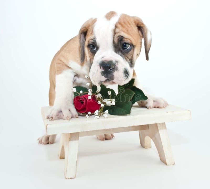 Schüchterner Bulldoggen-Welpe stockfoto