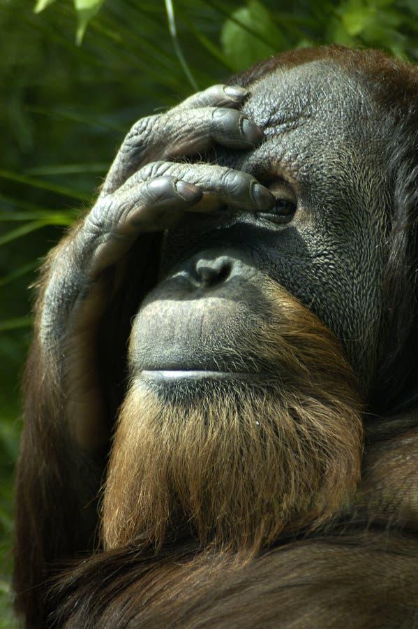Schüchterner Orang-Utan stockbild