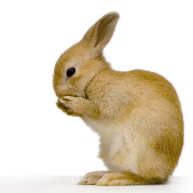 Schüchternes Kaninchen stockbilder