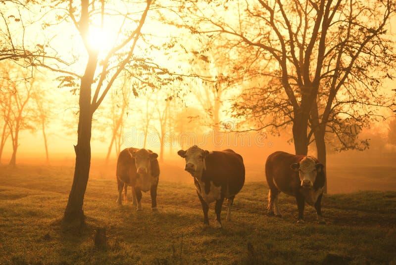 Schüchtert Morgenweide ein lizenzfreie stockfotografie