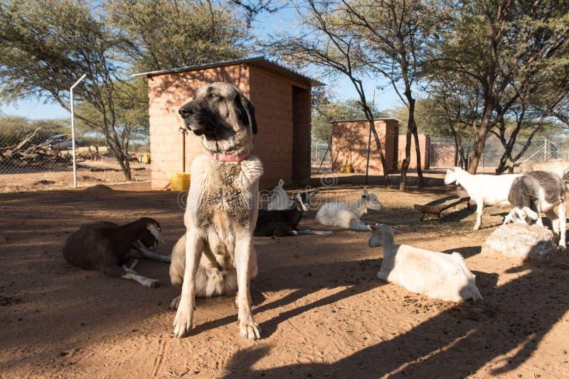 Schützender Hund in der Hürde mit Ziegen lizenzfreie stockfotografie