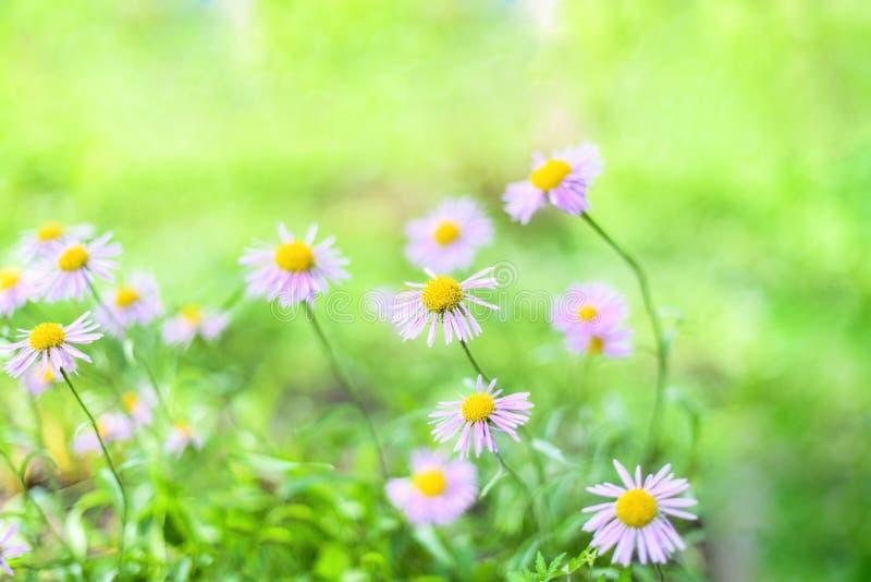 Sch?ne alpine G?nsebl?mchen, Astern im Sommer in einem Blumenbeet auf einem gr?nen Hintergrund alpines Asterbl?hen des Violett-La lizenzfreie stockfotografie