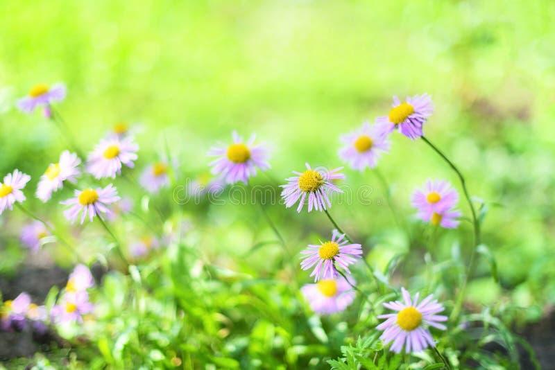 Sch?ne alpine G?nsebl?mchen, Astern im Sommer in einem Blumenbeet auf einem gr?nen Hintergrund alpines Asterbl?hen des Violett-La lizenzfreies stockbild