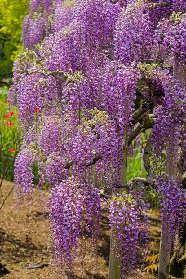Sch?ne Ansicht des gro?en purpurroten rosa Glyziniebl?tenbaums, Ashikaga, Tochigi, Japan stockfotos
