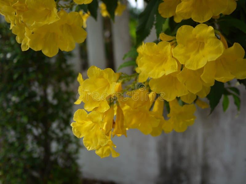 Sch?ne Blumen der gelben Trompete bl?hen in einem frischen gr?nen Garten stockbild
