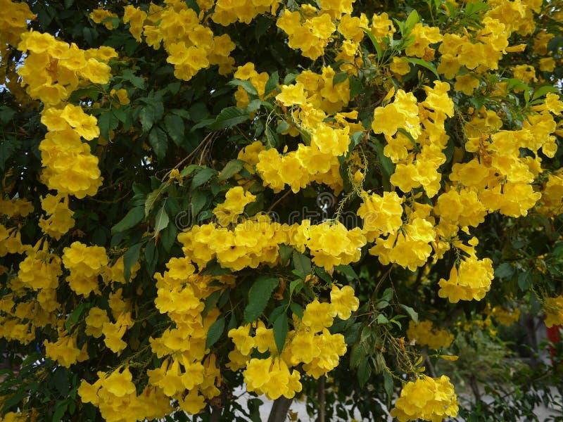 Sch?ne Blumen der gelben Trompete bl?hen in einem frischen gr?nen Garten stockbilder