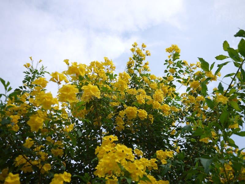 Sch?ne Blumen der gelben Trompete bl?hen in einem frischen gr?nen Garten lizenzfreie stockfotografie