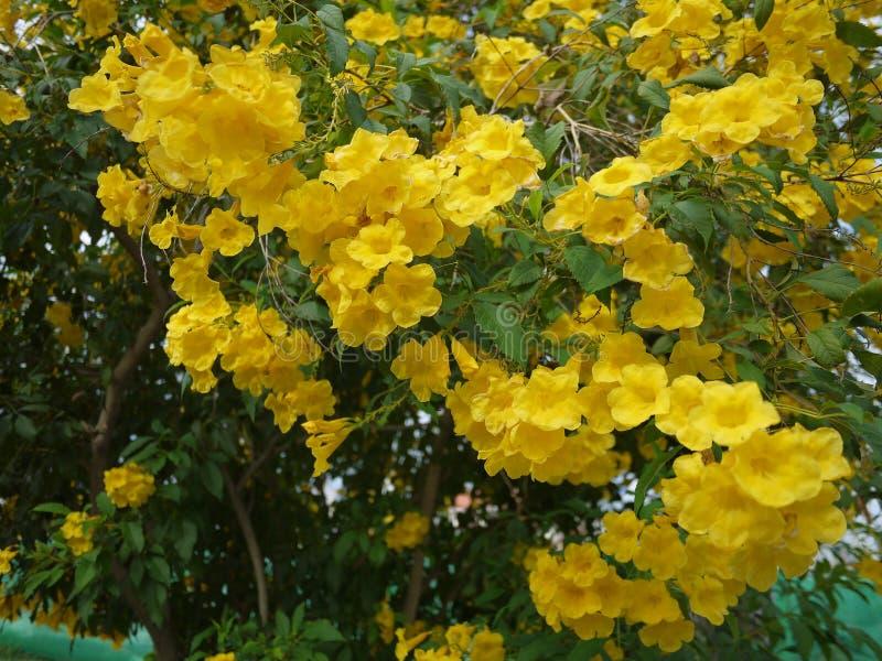 Sch?ne Blumen der gelben Trompete bl?hen in einem frischen gr?nen Garten lizenzfreie stockbilder