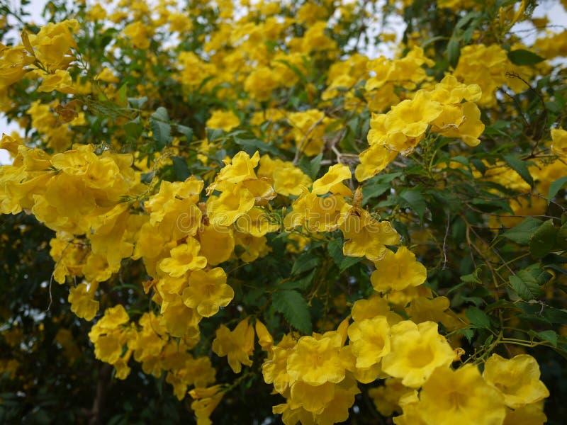 Sch?ne Blumen der gelben Trompete bl?hen in einem frischen gr?nen Garten lizenzfreies stockfoto