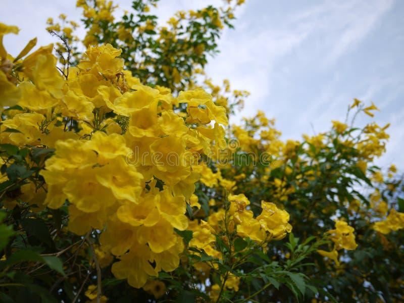 Sch?ne Blumen der gelben Trompete bl?hen in einem frischen gr?nen Garten stockfotografie