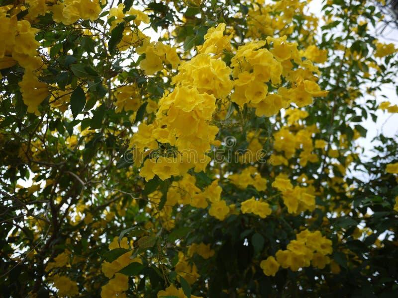Sch?ne Blumen der gelben Trompete bl?hen in einem frischen gr?nen Garten lizenzfreies stockbild